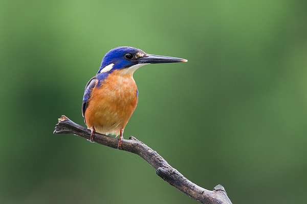 David Stowe_Azure Kingfisher-8809-2