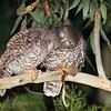 David Stowe_Powerful Owl-5921