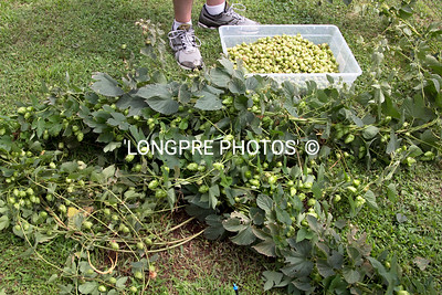 Vines laying on ground, before being raised again.