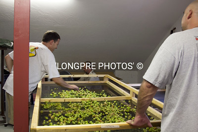 Spreading hops.