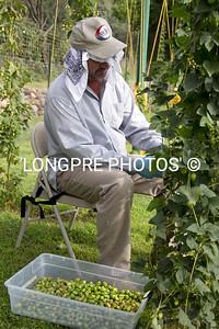Smart way to harvest hops.