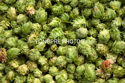 Collection of CASCADE HOPS. Just picked.
