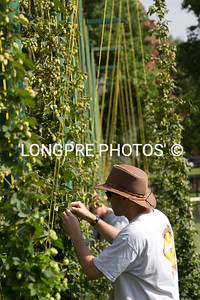 Chris picking his hops. Aug. 2012.