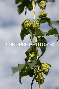 Hops still on vine.