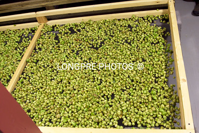 HOPS ready to be dried over night.
