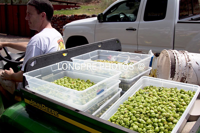 Gator back full of just picked Hops.  On way to drying barn.
