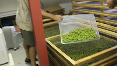 VIDEO of spreading hops in drying screens.
