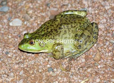 Club MASCOT..... AZ Bull Frog