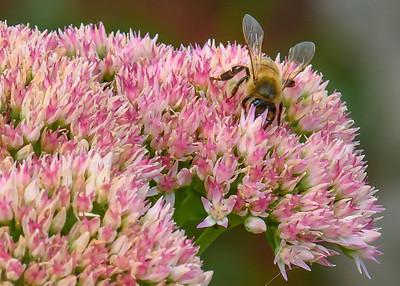 Sedum Plant Critters-1
