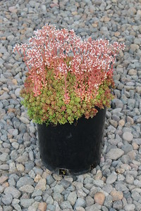 Sedum 'Coral Carpet' #1 (3)
