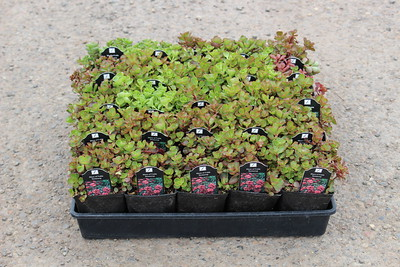 Sedum 'Blaze of Fulda' - 25 per flat 3 5 in