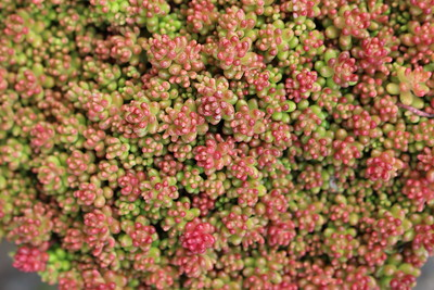 Sedum 'Coral Carpet' (3)