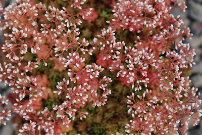 Sedum 'Coral Carpet' (2)