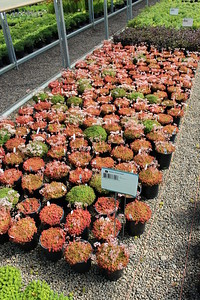 Sedum 'Coral Carpet' #1 (2)