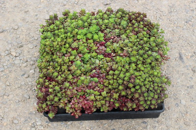 Sedum 'Blaze of Fulda' 3 5 in 25 per flat (2)