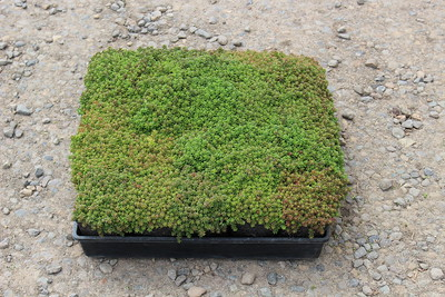 Sedum 'Coral Carpet' (4)