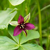 Trillium, Great Smoky Mountains
