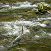Blue Heron in the Little River