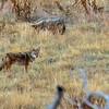 Coyote Nov 2020