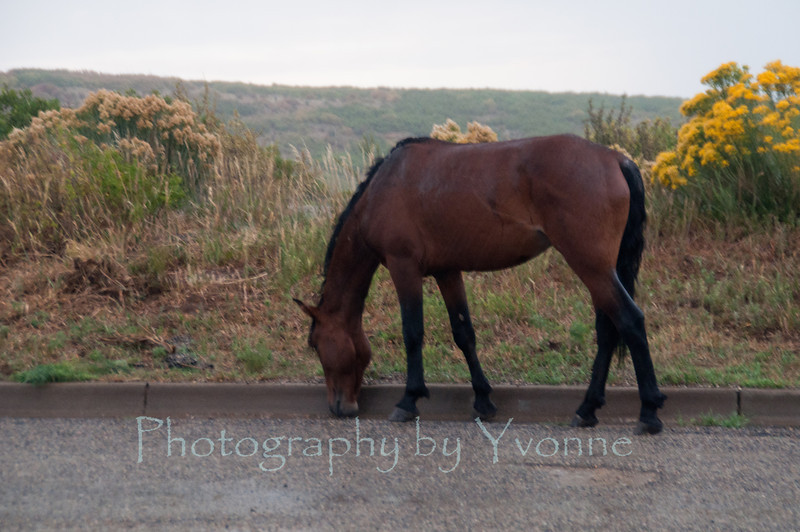 One of the beautiful feral (wild) horses of the Wetherill Mesa herd.