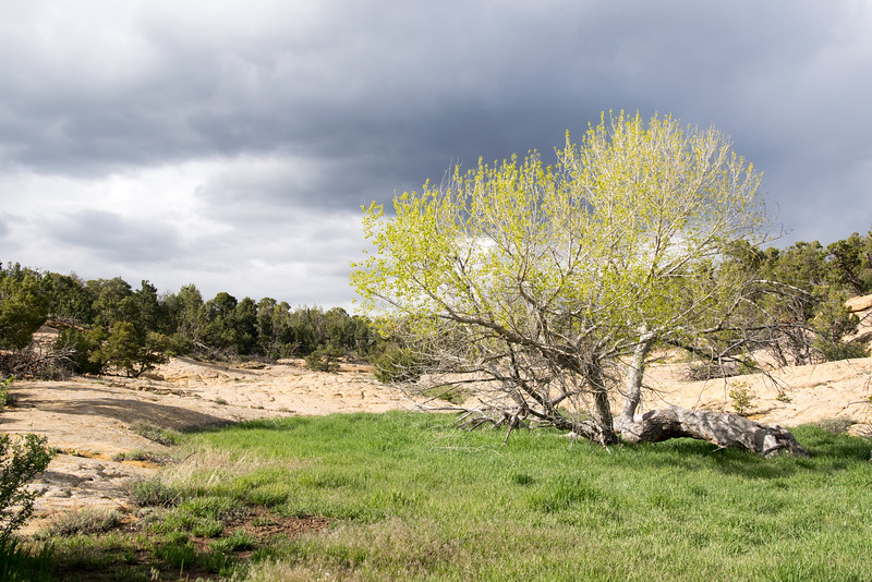 Green grass and Cottonwood
