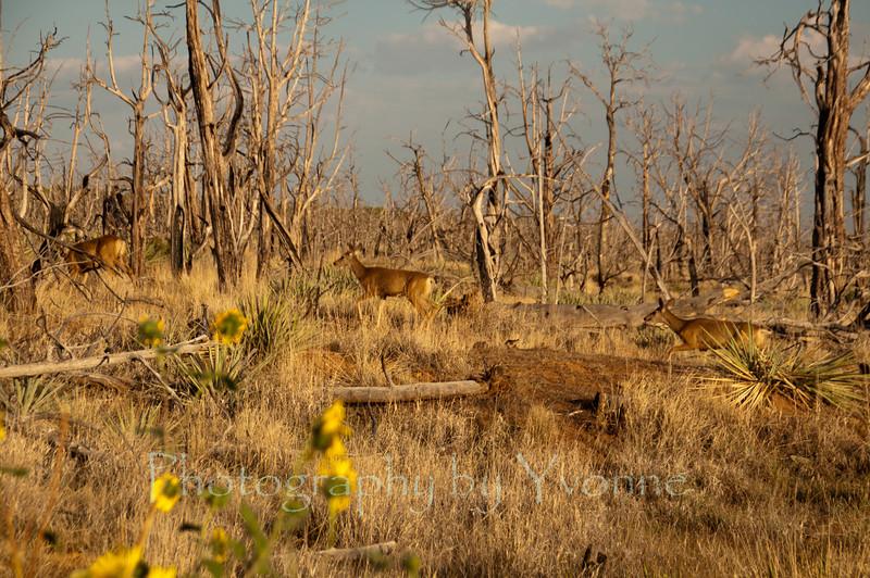 Mule deer are prevalent in Mesa Verde National Park. August 2012.