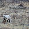 Feral Horse Grazing
