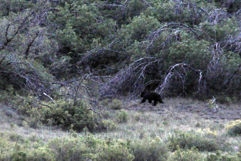 A black bear heads for the hills!