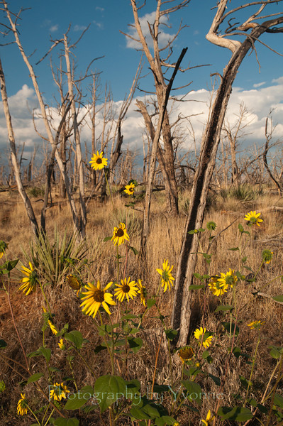 Wildflowers and the remnant burned trees of the Pony Fire of 2000.