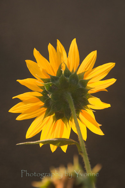Sunflower, taken from the back.