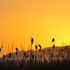 Red-winged Blackbirds are silhouetted at sunset along a La Plata County road.