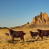 Navajo Cattle Grazin'
