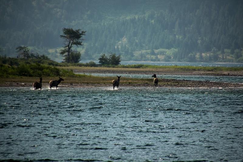 Elk in Waterton Lake, Alberta Canada