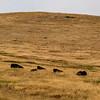 Bison at rest, Nat'l Bison Range 8/24/17