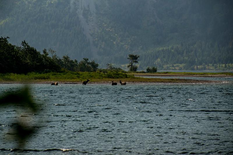 Elk in Waterton Lake, Alberta Canada 8/23/17