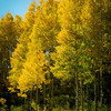 Aspen trees, 'quakies', are ablaze with color! 9/16/12