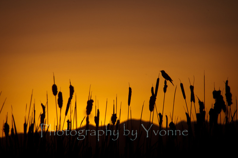 Red-winged blackbird balances on cattail as the sun sets behind the La Plata Mountains.