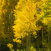 Aspen trees, aka 'Quakies' are ablaze with color! 9/16/12