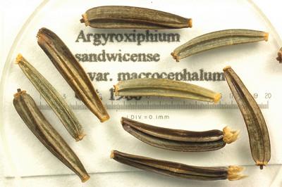 Argyroxiphium sandwicense