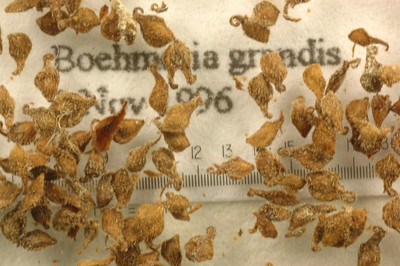 Boehmeria grandis