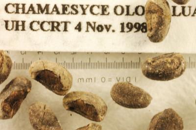 Chamaesyce olowaluana