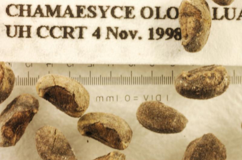 Chamaesyce olowaluana CCRT