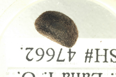 Ipomea tuboides BPBM 047762