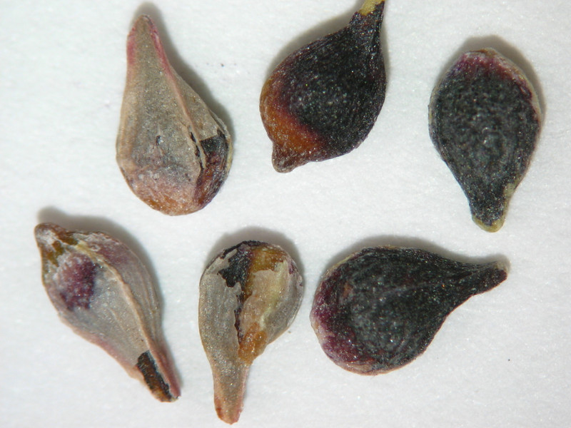 Eriogonum racemosum (ERRA3)