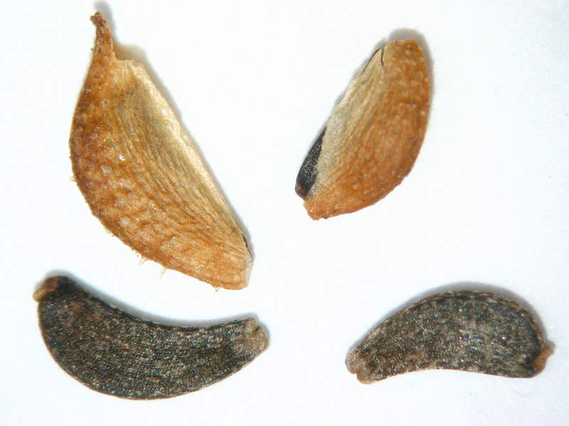 Madia elegans (MAEL)