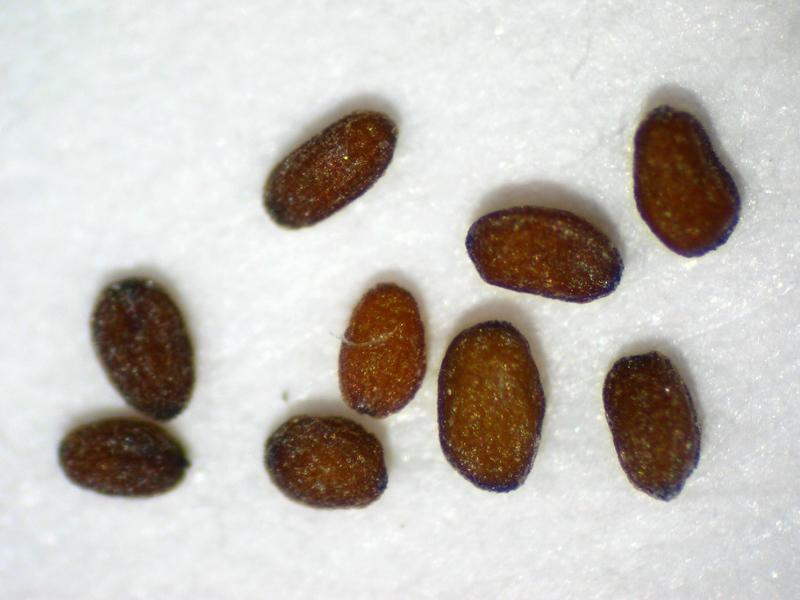 Mimulus guttatus (MIGU)