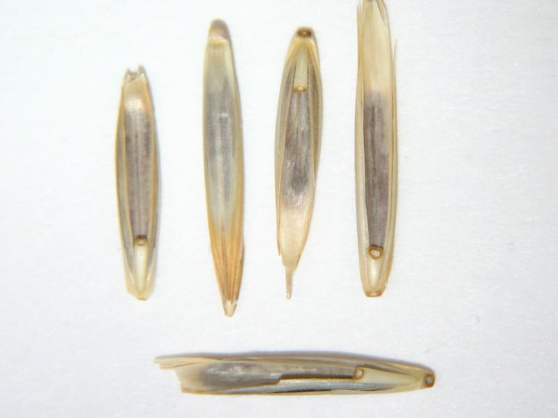 Pseudoroegneria spicata (PSSP6)