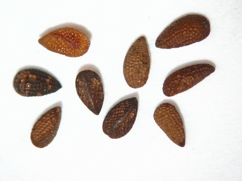 Phacelia hastata (PHHA)