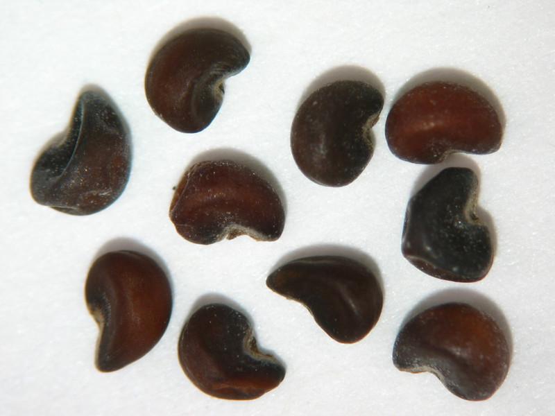 Sidalcea oregana (SIOR)