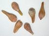 Eriogonum umbellatum var. ellipticum (ERUME)